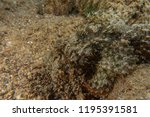 scorpion fish on the seabed  in ... | Shutterstock . vector #1195391581