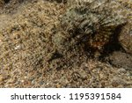 scorpion fish on the seabed  in ... | Shutterstock . vector #1195391584
