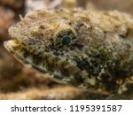 scorpion fish on the seabed  in ... | Shutterstock . vector #1195391587