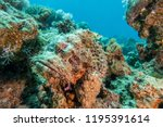 scorpion fish on the seabed  in ... | Shutterstock . vector #1195391614