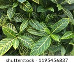 beautiful green leaves for... | Shutterstock . vector #1195456837