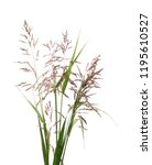 cane  reed seeds and grass... | Shutterstock . vector #1195610527