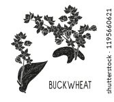 buckwheat. plant. flowers ... | Shutterstock . vector #1195660621