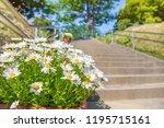 margaret in full bloom   Shutterstock . vector #1195715161