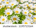 margaret in full bloom   Shutterstock . vector #1195715164