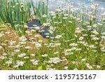 margaret in full bloom   Shutterstock . vector #1195715167