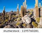 cactus on incahuasi island ...   Shutterstock . vector #1195760281
