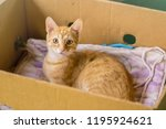 Stock photo young orange cat lay in box on yellow pillow 1195924621