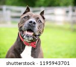 a brown and white pit bull... | Shutterstock . vector #1195943701