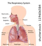 the respiratory system  labeled | Shutterstock . vector #119606584