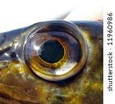 eye of the pike | Shutterstock . vector #11960986