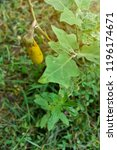 eggplant cultivation.       ... | Shutterstock . vector #1196174671