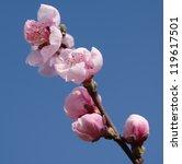 peach blossoms | Shutterstock . vector #119617501