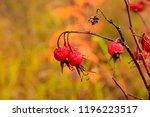 overripe rosehip berries. late...   Shutterstock . vector #1196223517