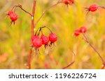 overripe rosehip berries. late...   Shutterstock . vector #1196226724