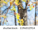 dogrose on hanging on a branch. ... | Shutterstock . vector #1196312914