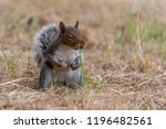 Angry Eastern Gray Squirrel ...