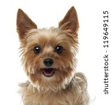 Close Up Of Yorkshire Terrier ...