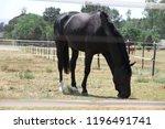 big and beautiful black stallion | Shutterstock . vector #1196491741