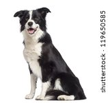 Stock photo border collie years old sitting and looking away against white background 119650585
