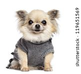 Stock photo chihuahua puppy months old sitting dressed and looking at camera against white background 119651569