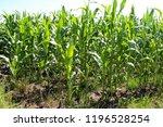 total view on a corn field in... | Shutterstock . vector #1196528254