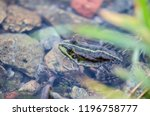 Frog lake in water