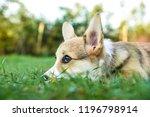 welsh corgi puppy   Shutterstock . vector #1196798914