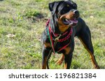 cute dog rottweiler in the park ... | Shutterstock . vector #1196821384