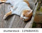 thai cat  cat yellow white  cat ... | Shutterstock . vector #1196864431