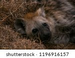 close up of baby hyenas face ... | Shutterstock . vector #1196916157