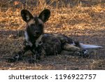 wild dog sitting by the road in ... | Shutterstock . vector #1196922757