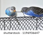 Two Budgerigars  Melopsittacus...
