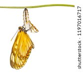 Small photo of Isolated emerged yellow coster butterfly ( Acraea issoria ) and mature chrysalis hanging on twig with clipping path, growth , metamorphosis