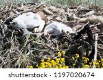 chicks of the steppe eagle in... | Shutterstock . vector #1197020674