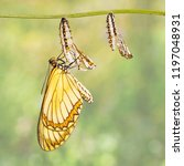 Small photo of Emerged yellow coster butterfly ( Acraea issoria ) and mature chrysalis hanging on twig , growth , metamorphosis
