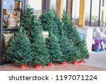 Small Live Christmas Trees For...