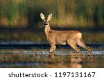 roe deer  capreolus capreolus  | Shutterstock . vector #1197131167