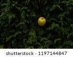 green apple on a background of... | Shutterstock . vector #1197144847