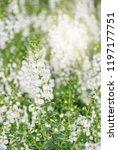 angelonia flower  angelonia... | Shutterstock . vector #1197177751