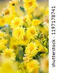 yellow chrysanthemum flowers ... | Shutterstock . vector #1197178741