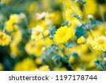 yellow chrysanthemum flowers ... | Shutterstock . vector #1197178744
