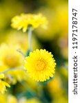 yellow chrysanthemum flowers ... | Shutterstock . vector #1197178747