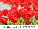 red tulips in the sun   Shutterstock . vector #1197292267