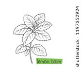 lemon balm bunch hand drawn... | Shutterstock .eps vector #1197352924