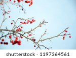 Ilex Verticillata  The...