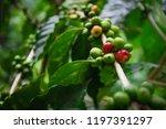 arabica coffee cherries on tree ...   Shutterstock . vector #1197391297