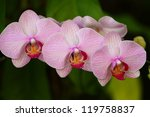 Three Purple Orchid ...