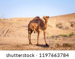 Arabian Camel  Also Known As...
