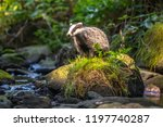 badger in forest  animal in... | Shutterstock . vector #1197740287